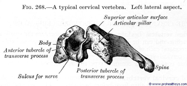 Cervical vertebra lateral view - Figure 268