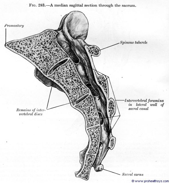 Sacral and Coccygeal Vertebra - Prohealthsys