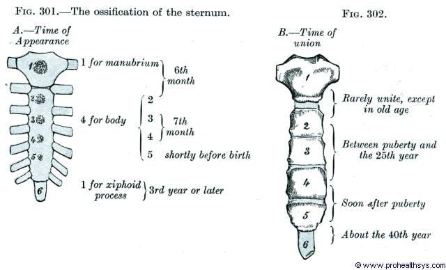 Sternum ossification - Figures 301-302