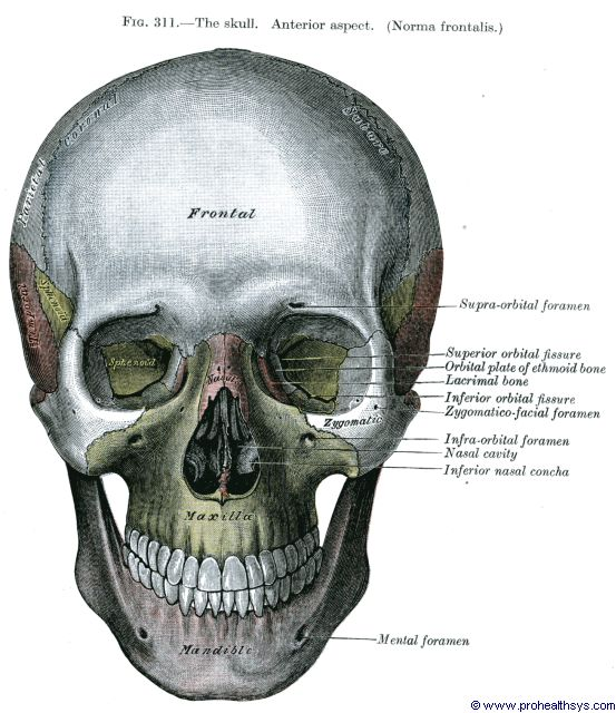 Skull anterior view - Figure 311