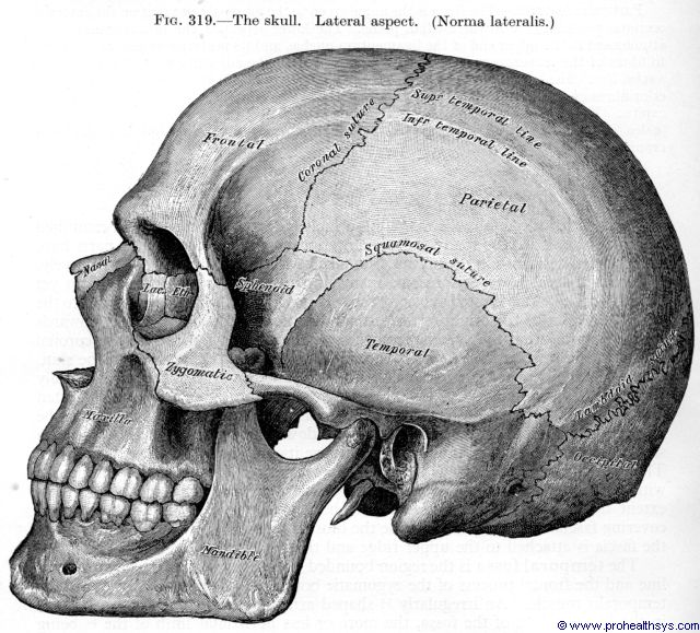 Skull lateral view - Figure 319