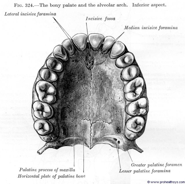 Palate and Alveolar arch inferior view - Figure 324