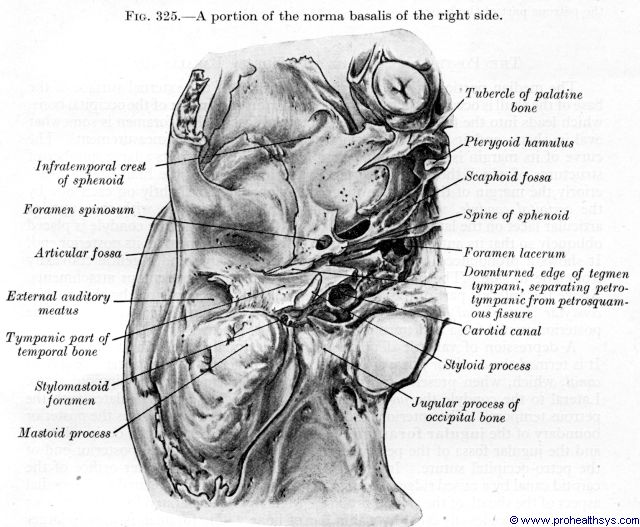 Inferior view of right temporal and sphenoid bones - Figure 325