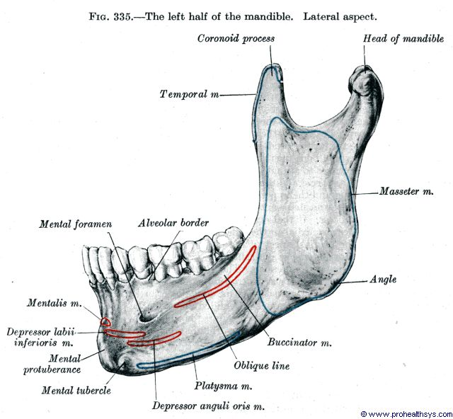 Half of mandible lateral view - Figure 335