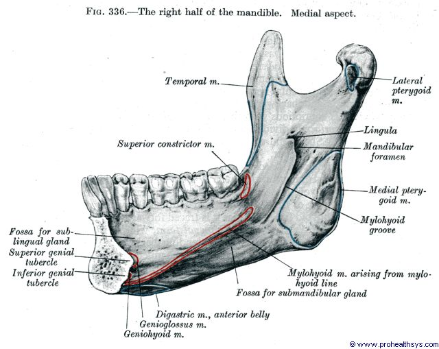 Half of mandible medial view - Figure 336