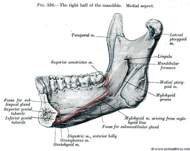 Half of mandible medial view - Figure 336
