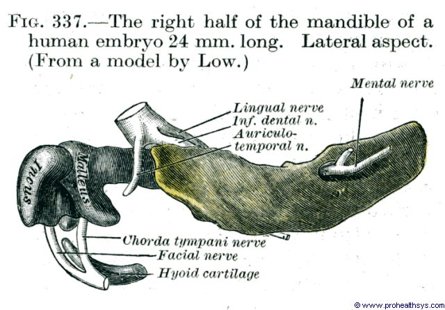 Right half of Mandible in 24 mm long fetus lateral aspect - Figure 337