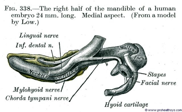 Right half of Mandible in 24 mm long fetus medial aspect - Figure 338