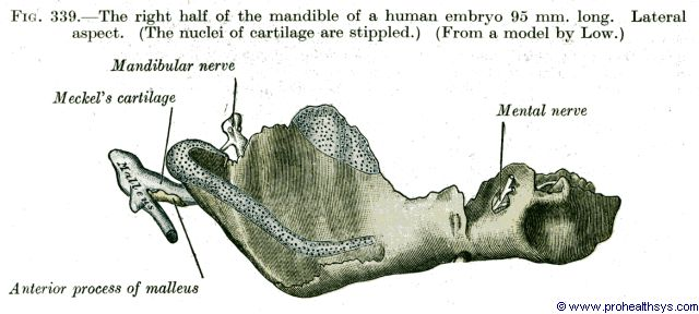 Right half of Mandible in 95 mm long fetus lateral aspect - Figure 339