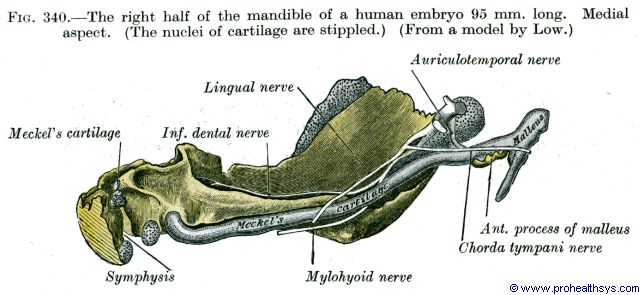 Right half of Mandible in 95 mm long fetus lateral aspect - Figure 340