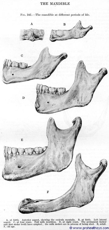 Mandible from birth to old age - Figure 341