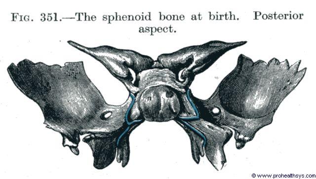 Sphenoid bone at birth posterior view - Figure 351