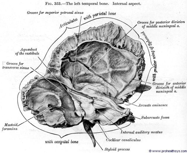 Temporal Bones - Prohealthsys