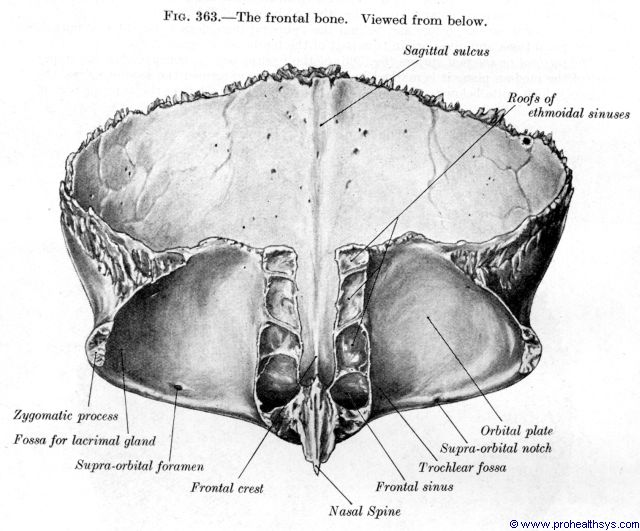 Frontal bone inferior view - Figure 363