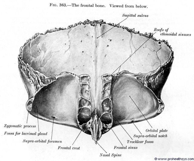 Frontal bone inferior view - Figure 363