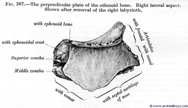 Perpendicular plate of ethmoid bone lateral view - Figure 367