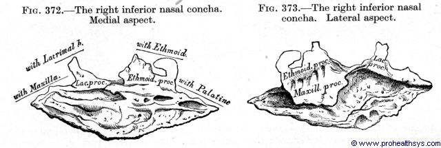 Inferior nasal concha medial and lateral views - Figures 372-373