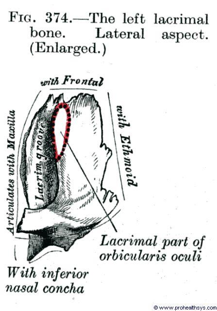 Lacrimal Bones - Prohealthsys