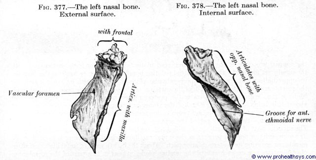 Nasal bone external and internal views - Figures 377-378