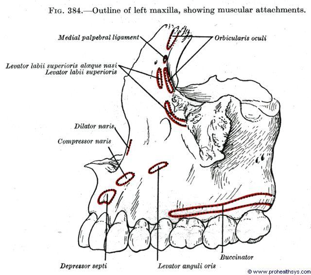 Maxilla muscular attachments lateral view - Figure 384