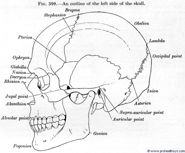 Skull outline lateral view - Figure 399