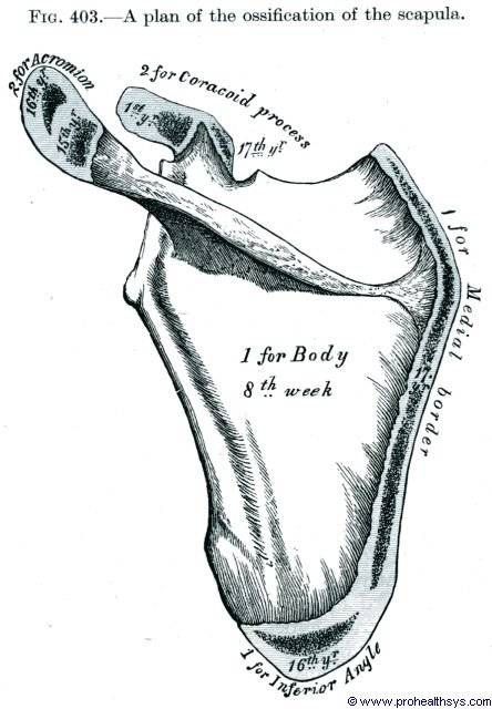 Ossification projection for scapula - Figure 403