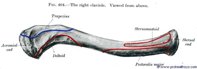Clavicle superior view - Figure 404