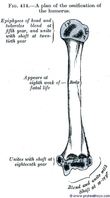 Ossification projection for humerus - Figure 414