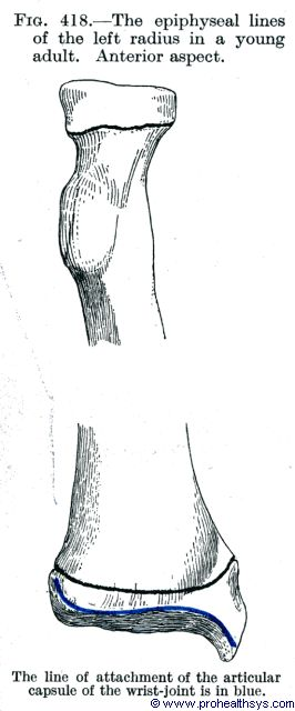 Epiphyseal lines of young adult radius anterior view - Figure 418
