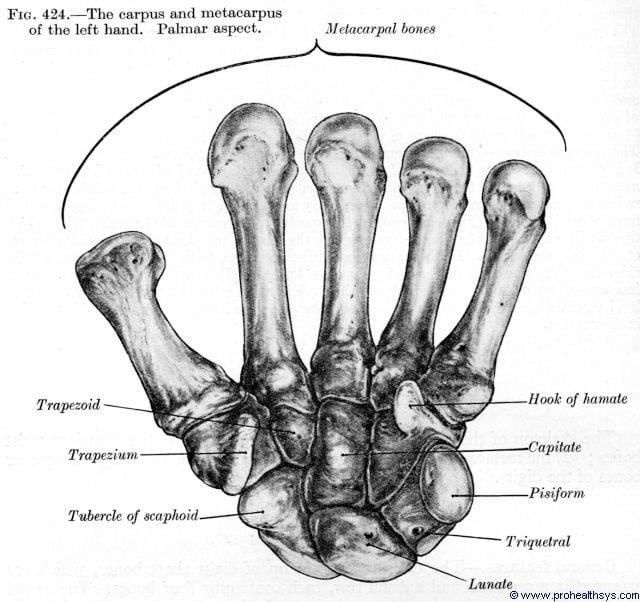 Carpals and metacarpals palmar view - Figure 424