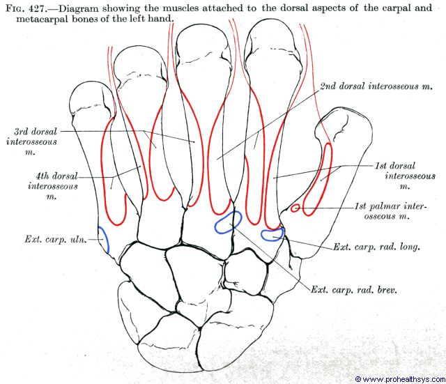 Muscle attachments to the carpals and metacarpals dorsal view - Figure 427
