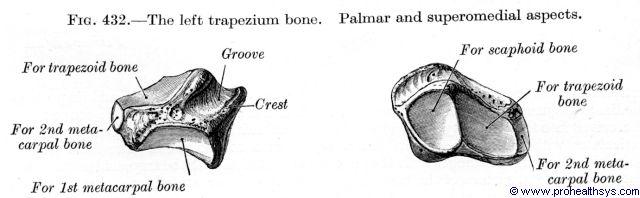 Trapezium bone palmar and superomedial views - Figure 432
