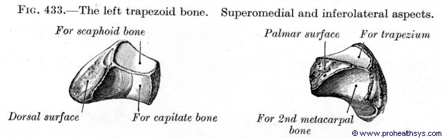 Trapezoid bone and superomedial, inferolateral view - Figure 433