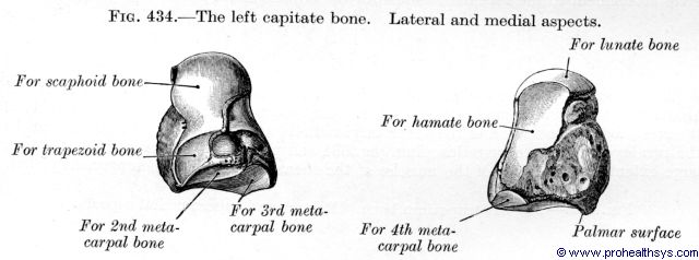 Capitate bone and lateral, medial view - Figure 434