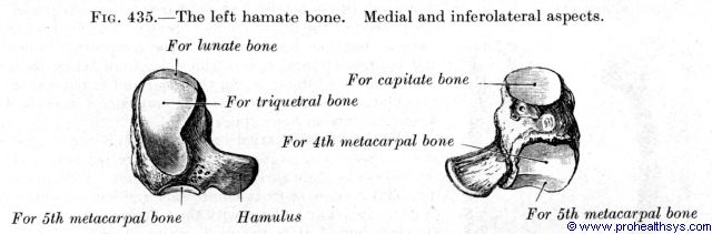 Hamate bone and medial, inferolateral view - Figure 435