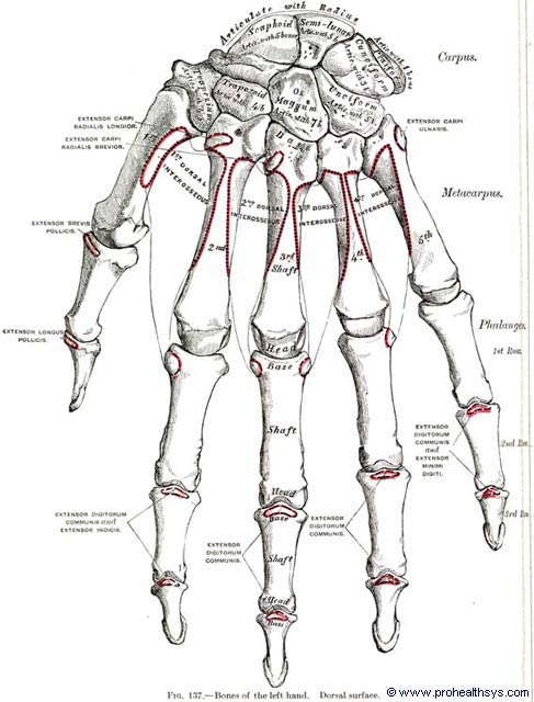 Phalanges Of The Hand Prohealthsys