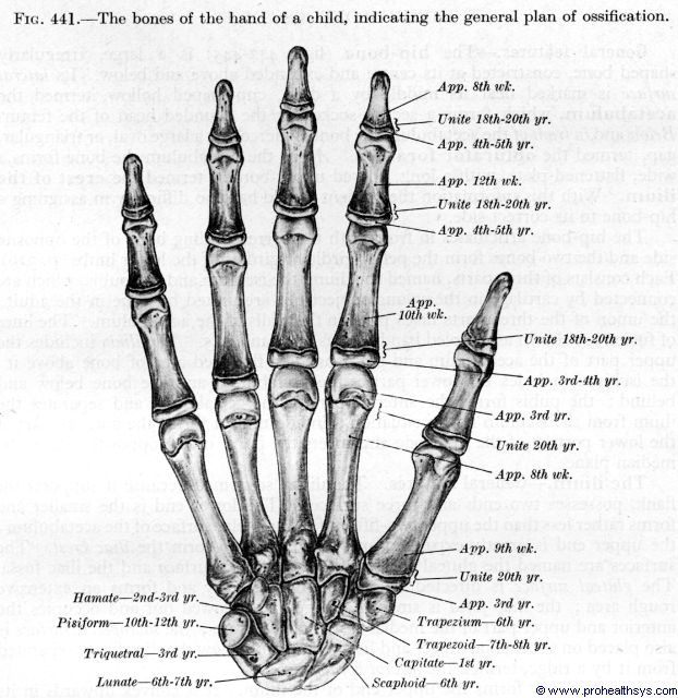 ossification of bones of the hand - prohealthsys, Sphenoid