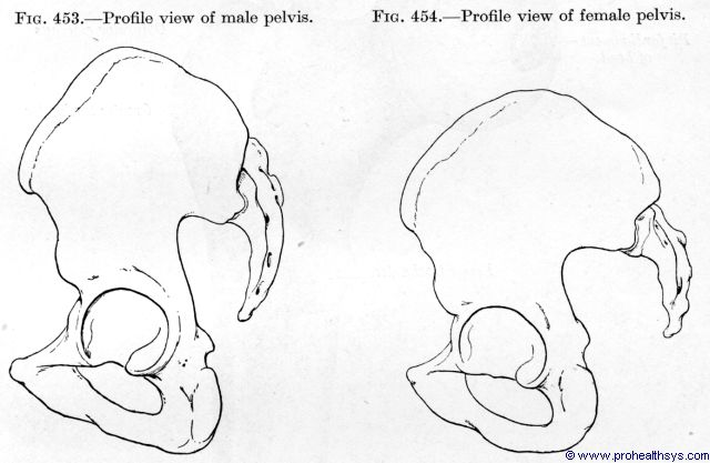 Male pelvis lateral view and female pelvis lateral view - Figures 453-454