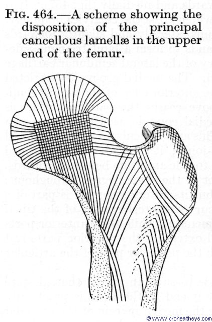 Upper femur showing disposition of the principle cancellous lamellae - Figure 464