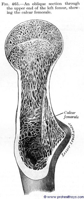 Upper femur oblique section showing calcar femorale - Figure 465
