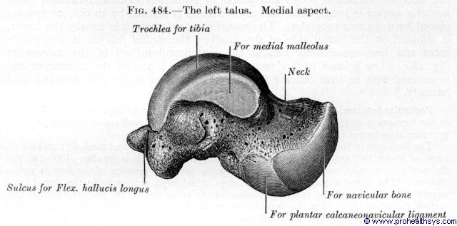 Talaus medial view - Figure 484