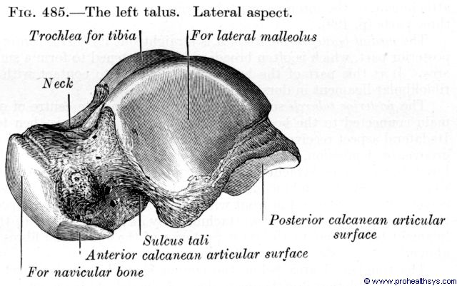 Talus lateral view - Figure 485
