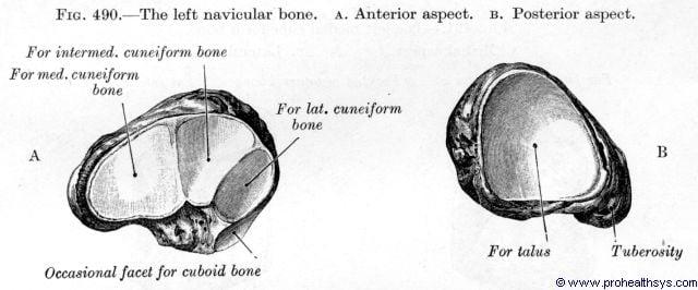 Navicular bone anterior and posterior views - Figure 490