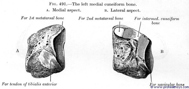 Medial cuneiform medial and lateral views - Figure 491