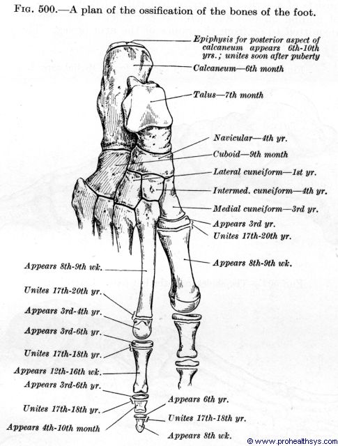 Ossification projection for bones of the foot - Figure 500
