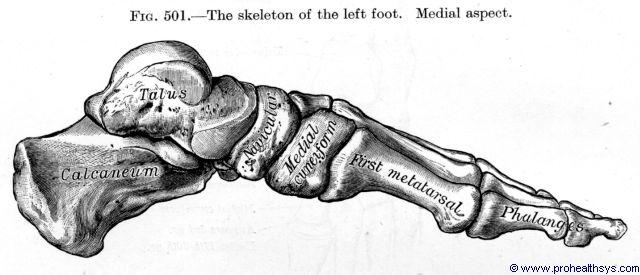 Skeleton foot medial view - Figure 501