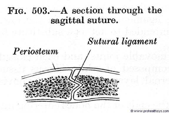 Section through a sagittal suture - Figure 503