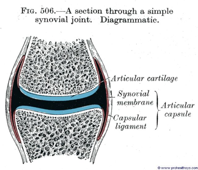 Synovial joint section - Figure 506