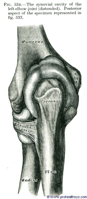 Synovial cavity of elbow joint posterior view - Figure 534