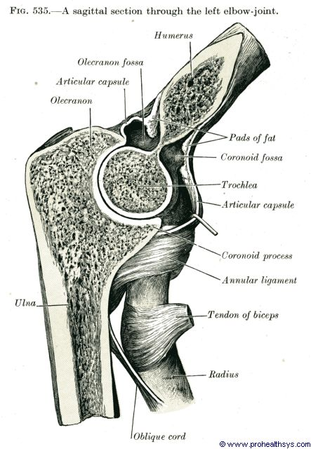 Elbow joint sagittal section - Figure 535